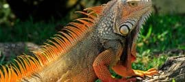 Iquitos Wildlife Iguana Tour 05 Days