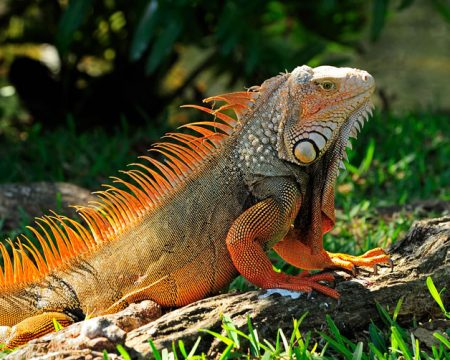 Iquitos Wildlife Iguana Tour 5 Days