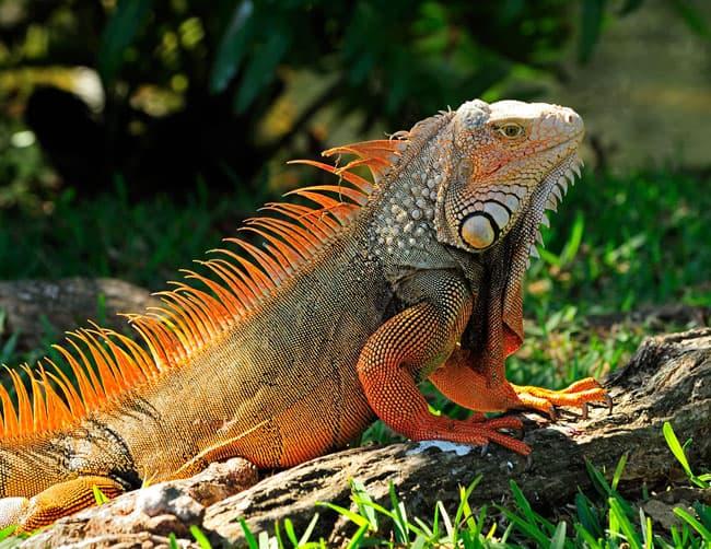 Iquitos Wildlife Iguana Tour   ILE Tours