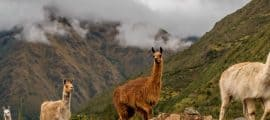 Lares Trek Hot Springs, Ollantaytambo, Machu Picchu – 04 Days