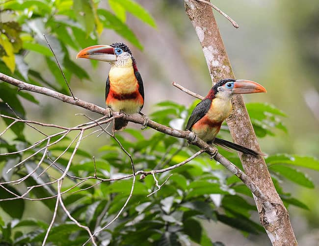 Manu Rainforest Birds Iletours