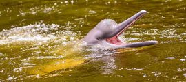 Pink River Dolphin in Iquitos Amazon – 02 days