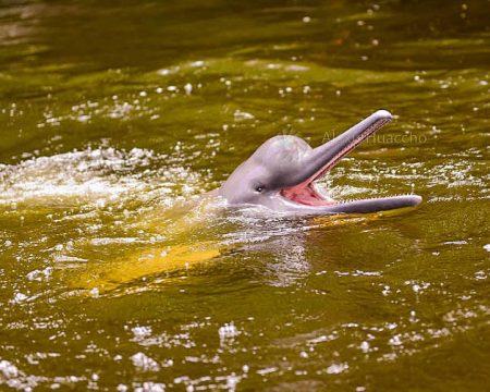 Pink River Dolphin in Iquitos Amazon – 2 days