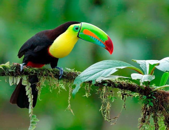 Tucanos Tropical Observação de aves | ILE Tours