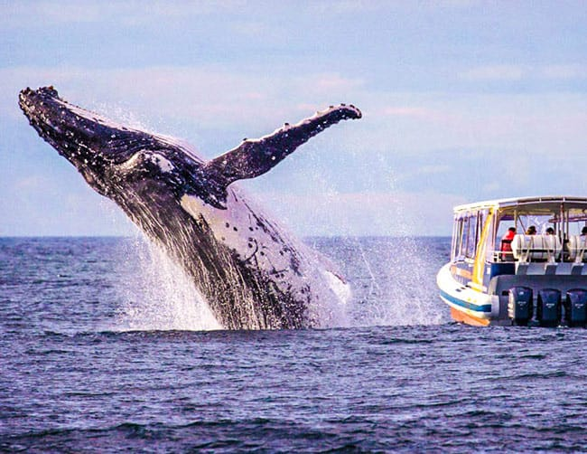 Best place for Humpback whales watching Puerto López Ecuador