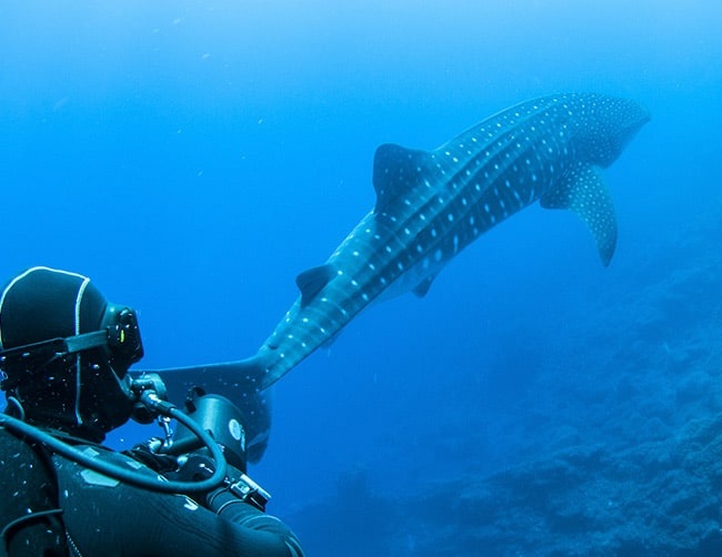 The Whale Sharks Point Wolf Island